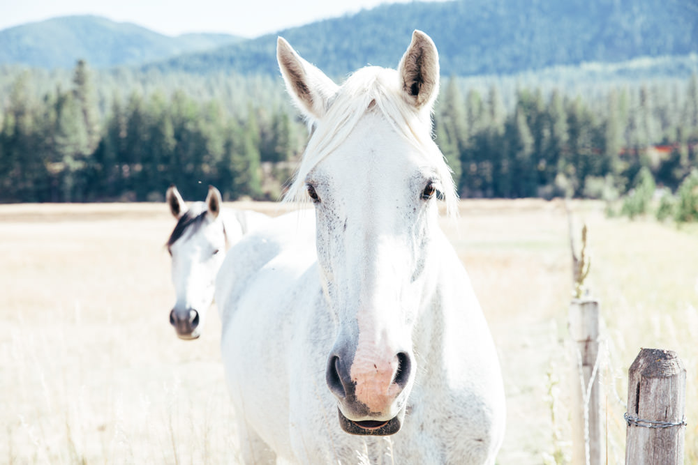 White horses in Superior, Montana