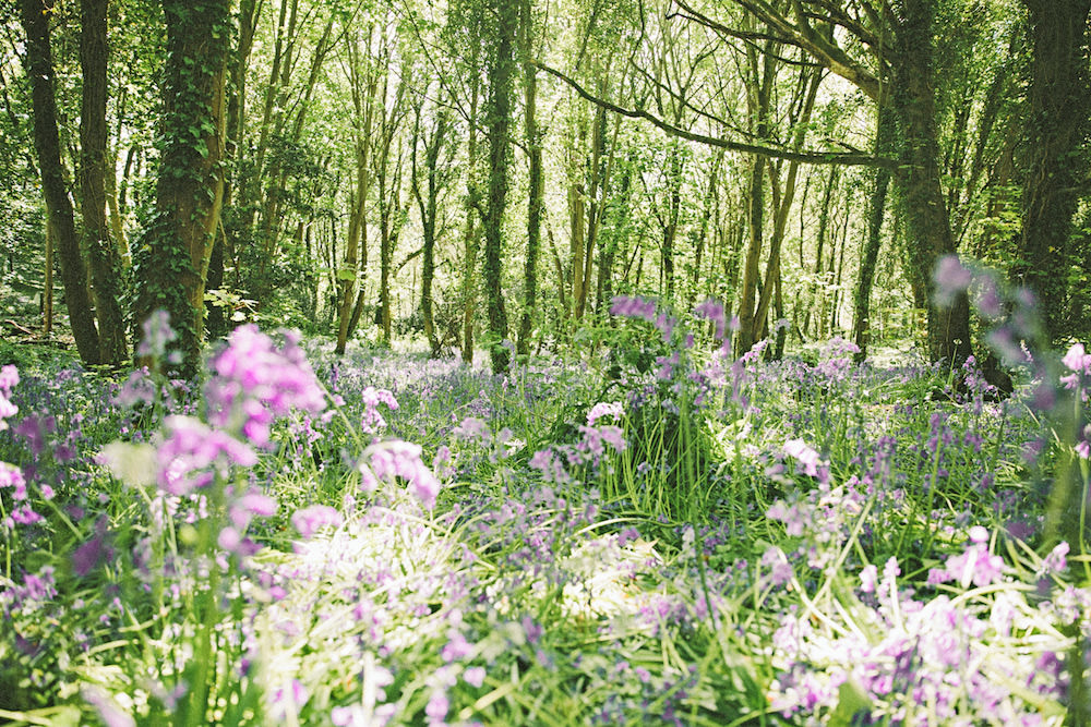 Bluebell Woods in Guernsey U.K.